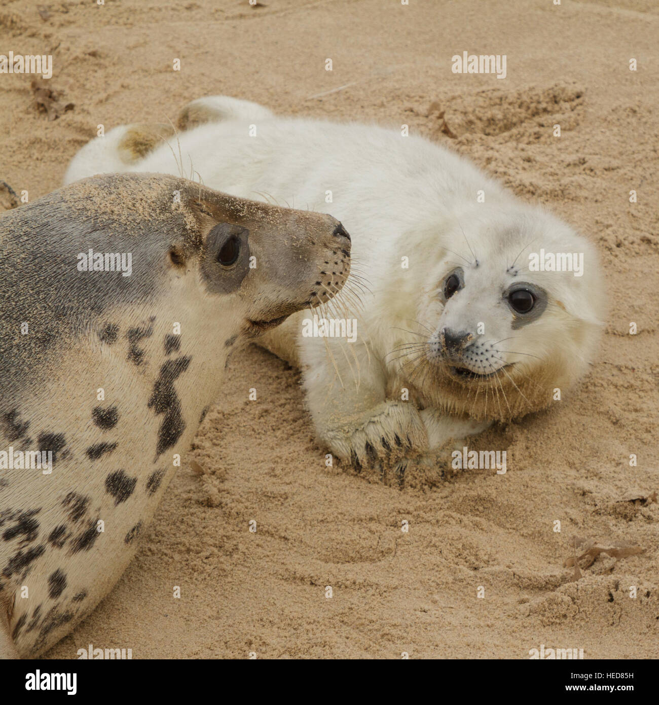 Grey seal pup with its mother, Horsey, Norfolk, UK Stock Photo