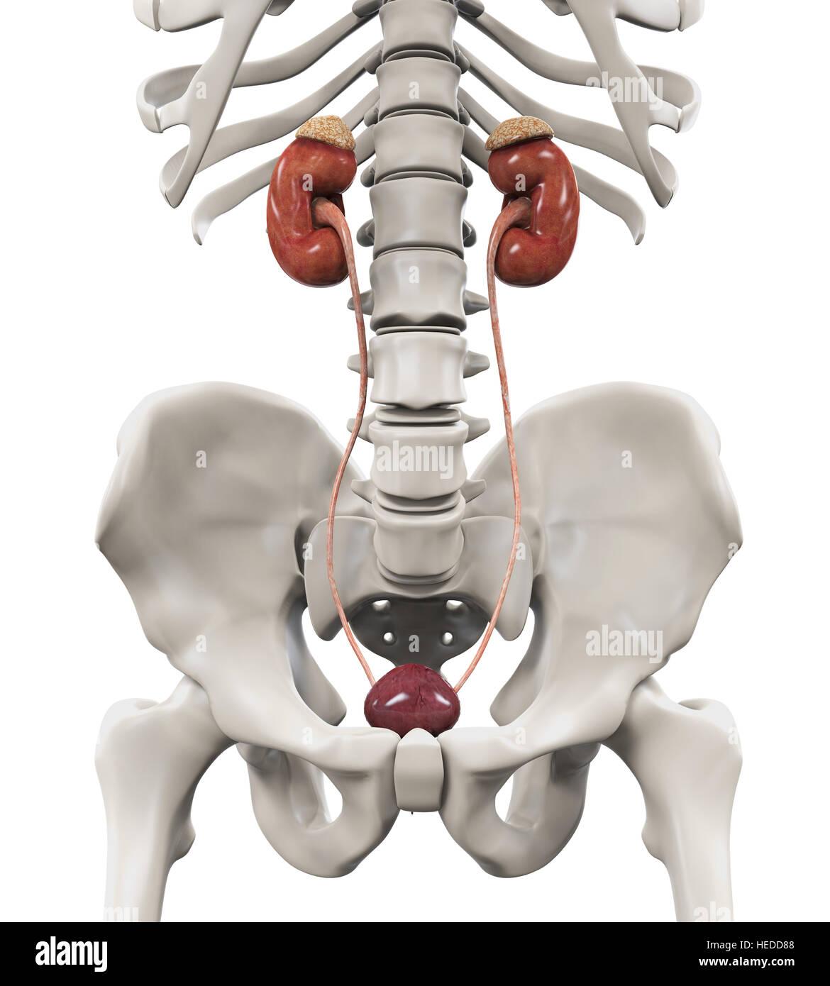 Human Kidneys Anatomy - Stock Image