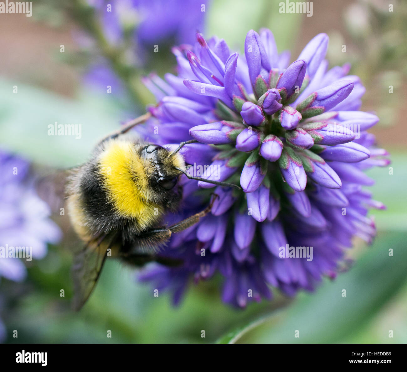 Close up of a bee collecting nectar from a purple flowerhead Stock Photo