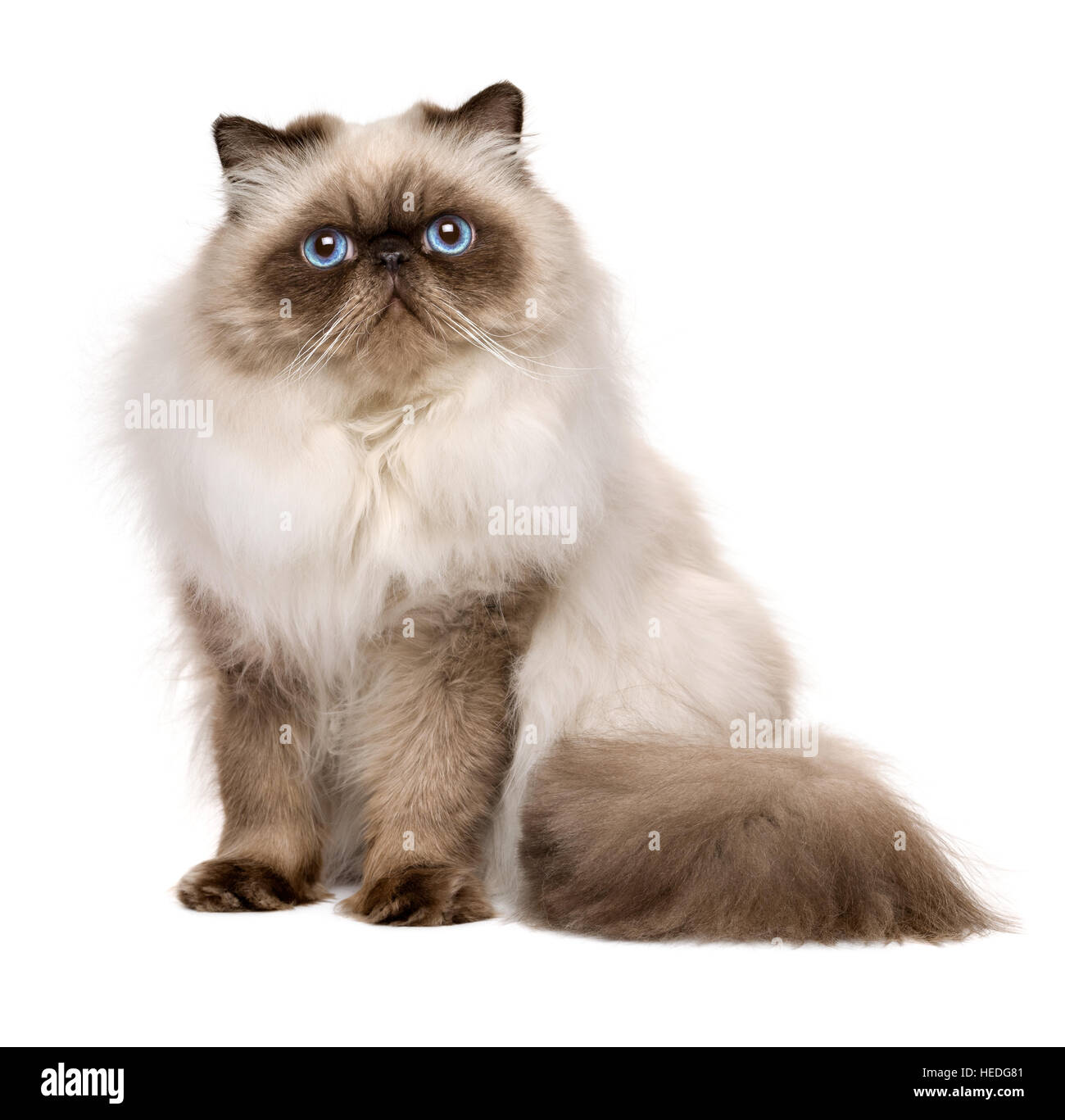Cute 1 Year Old Seal Colourpoint Persian Cat Is Sitting Stock Photo Alamy