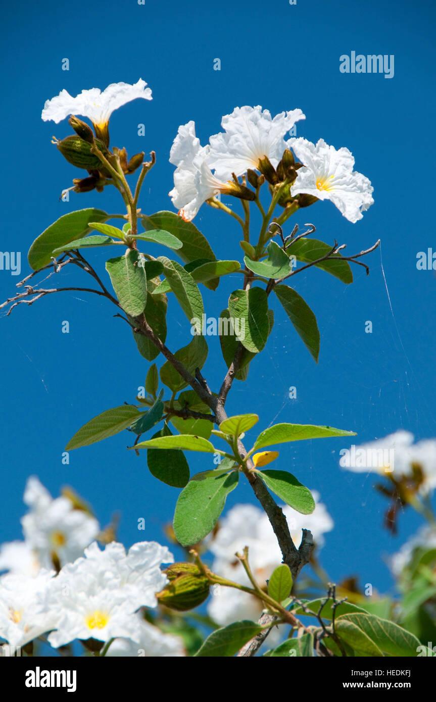 White flowers, Edinburg Scenic Wetlands, Edinburg, Texas - Stock Image