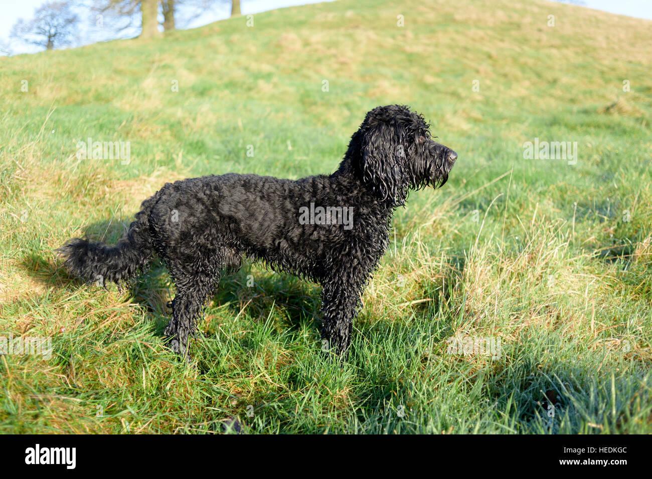 Cockapoo ,Male black dog. - Stock Image