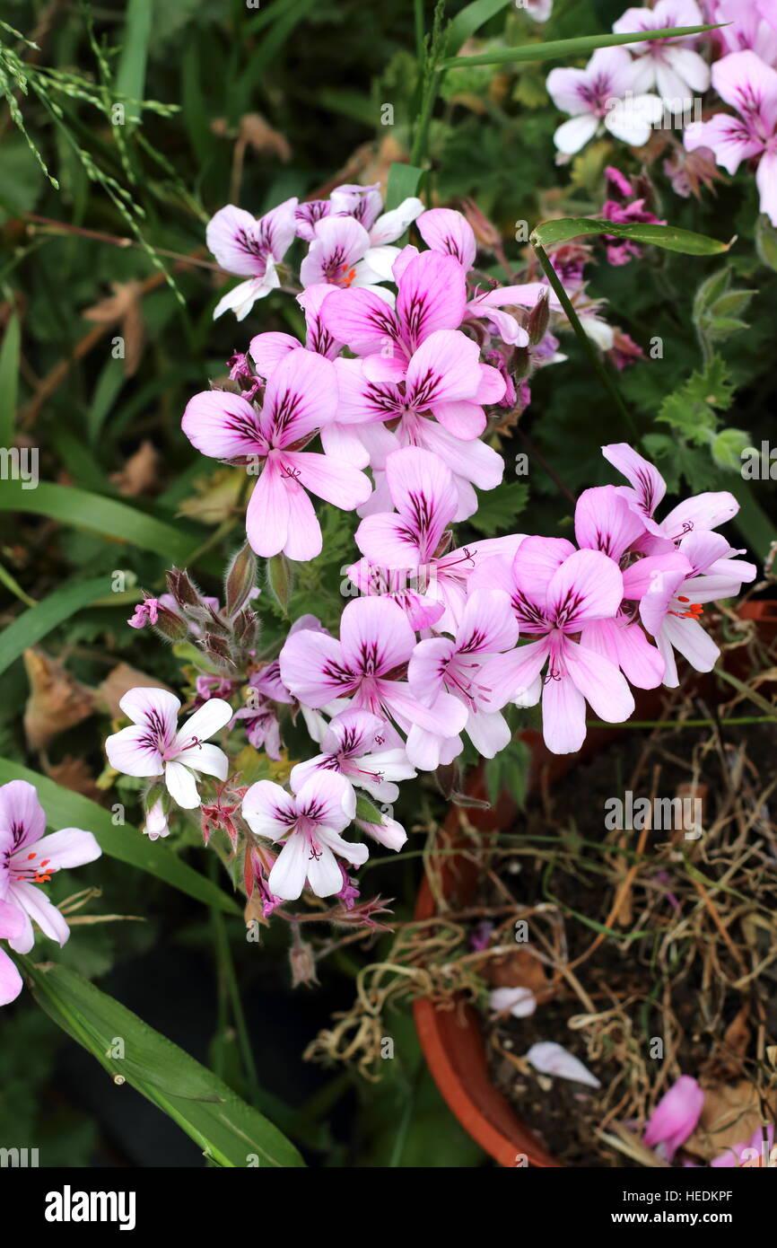 Close up of Pelargonium citrosum or known as Mosquito Repellant Plant or Citronella Plant Stock Photo