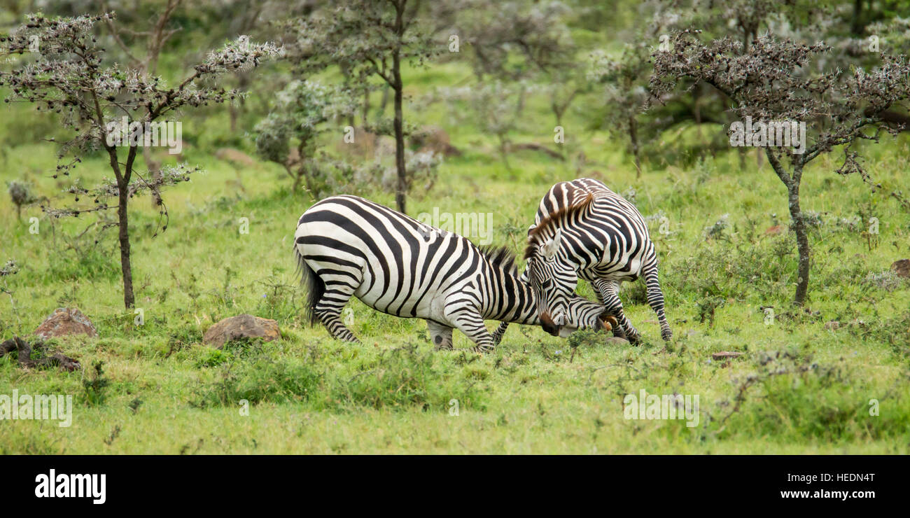 Plains or Common zebra, two males fighting, heads down and biting, Mara Naboisho Conservancy Kenya Africa - Stock Image