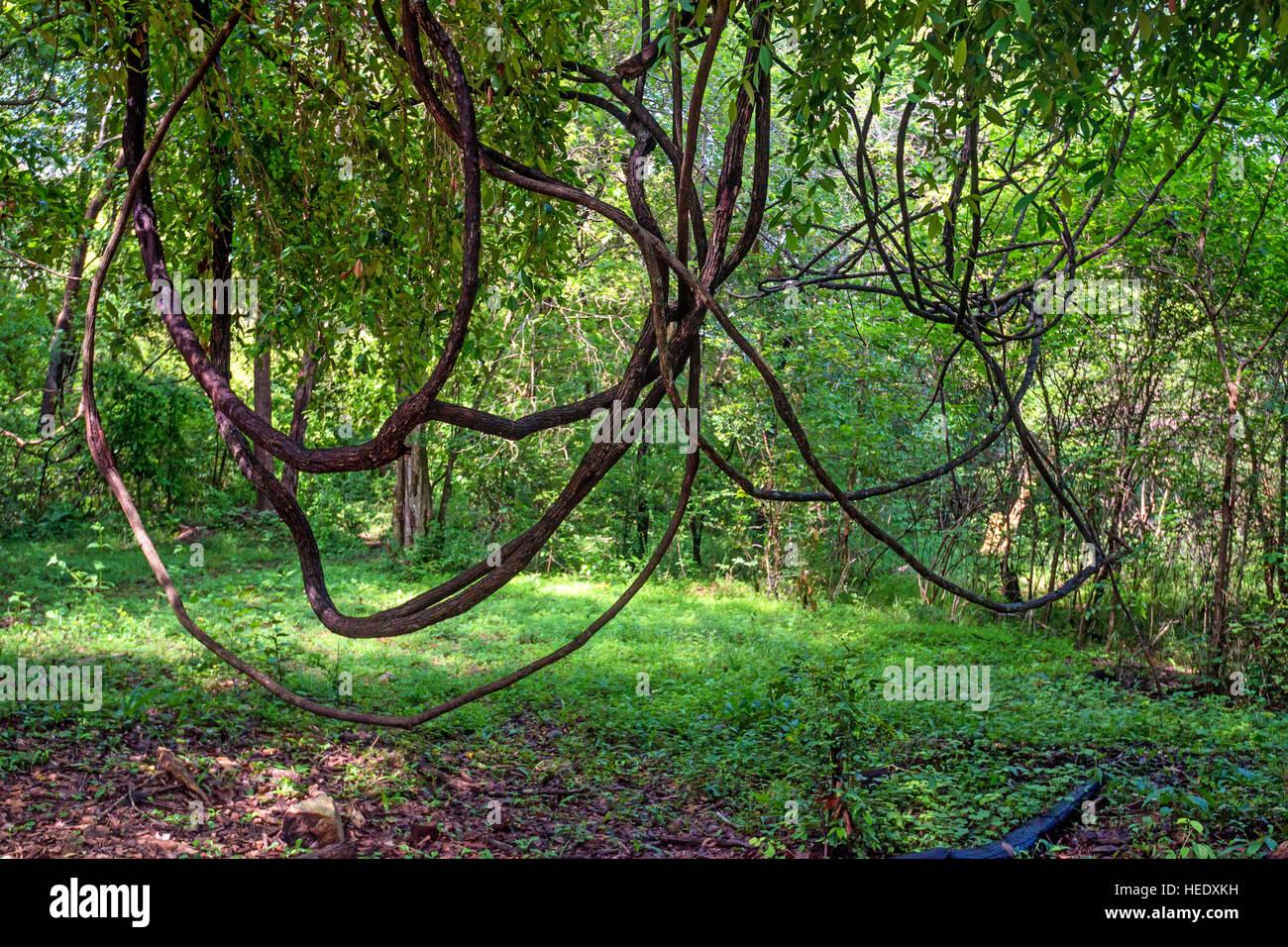 Lianas in jungle - Stock Image