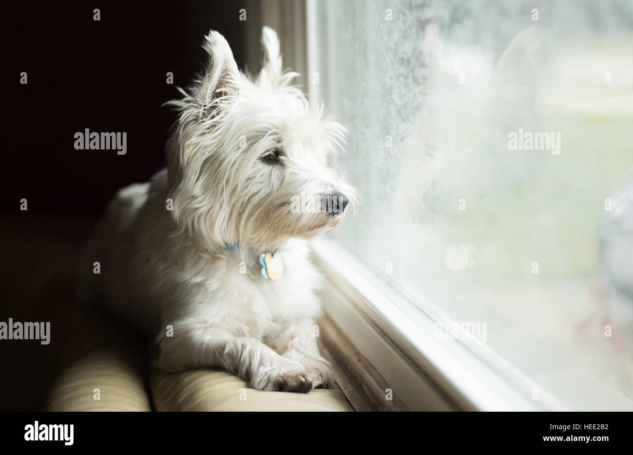 West Highland White Terrier - Stock Image