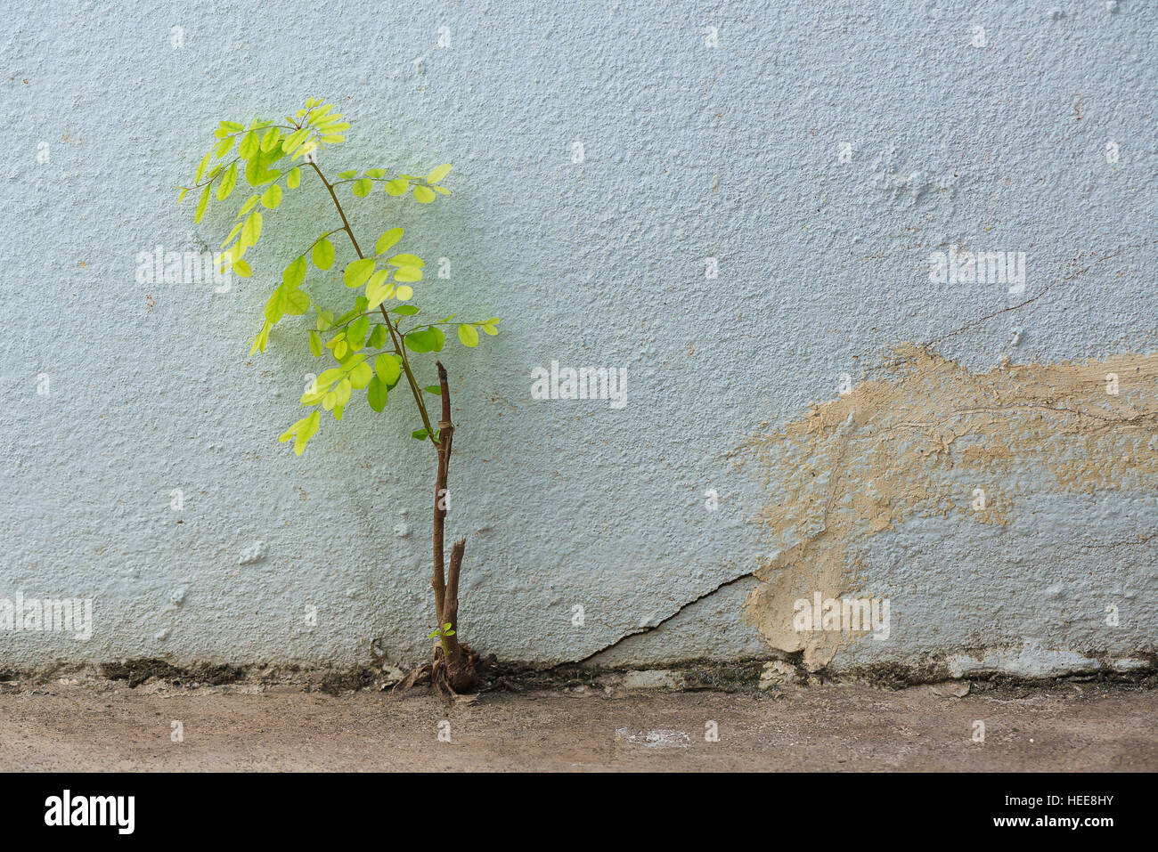 Small plant germinated and grown up from the cracked concrete wall background. - Stock Image