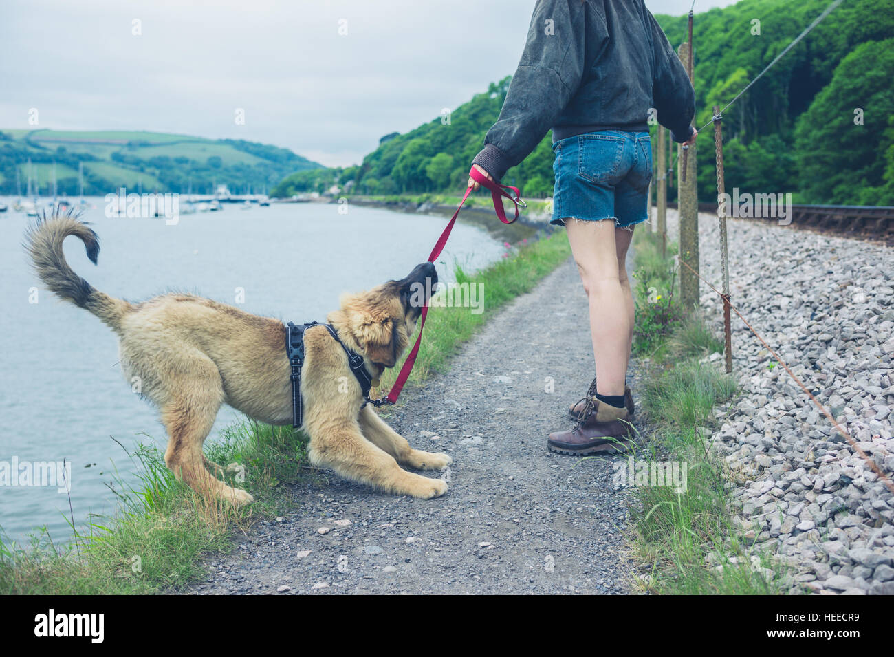 A naughty dog is pulling on his leash and almost falling into a lake - Stock Image