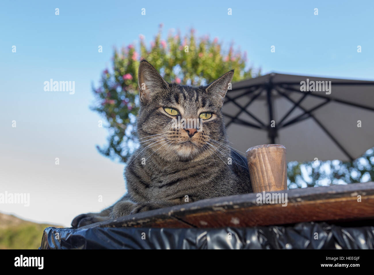 Tabby cat, Sonoma, Sonoma County, California - Stock Image