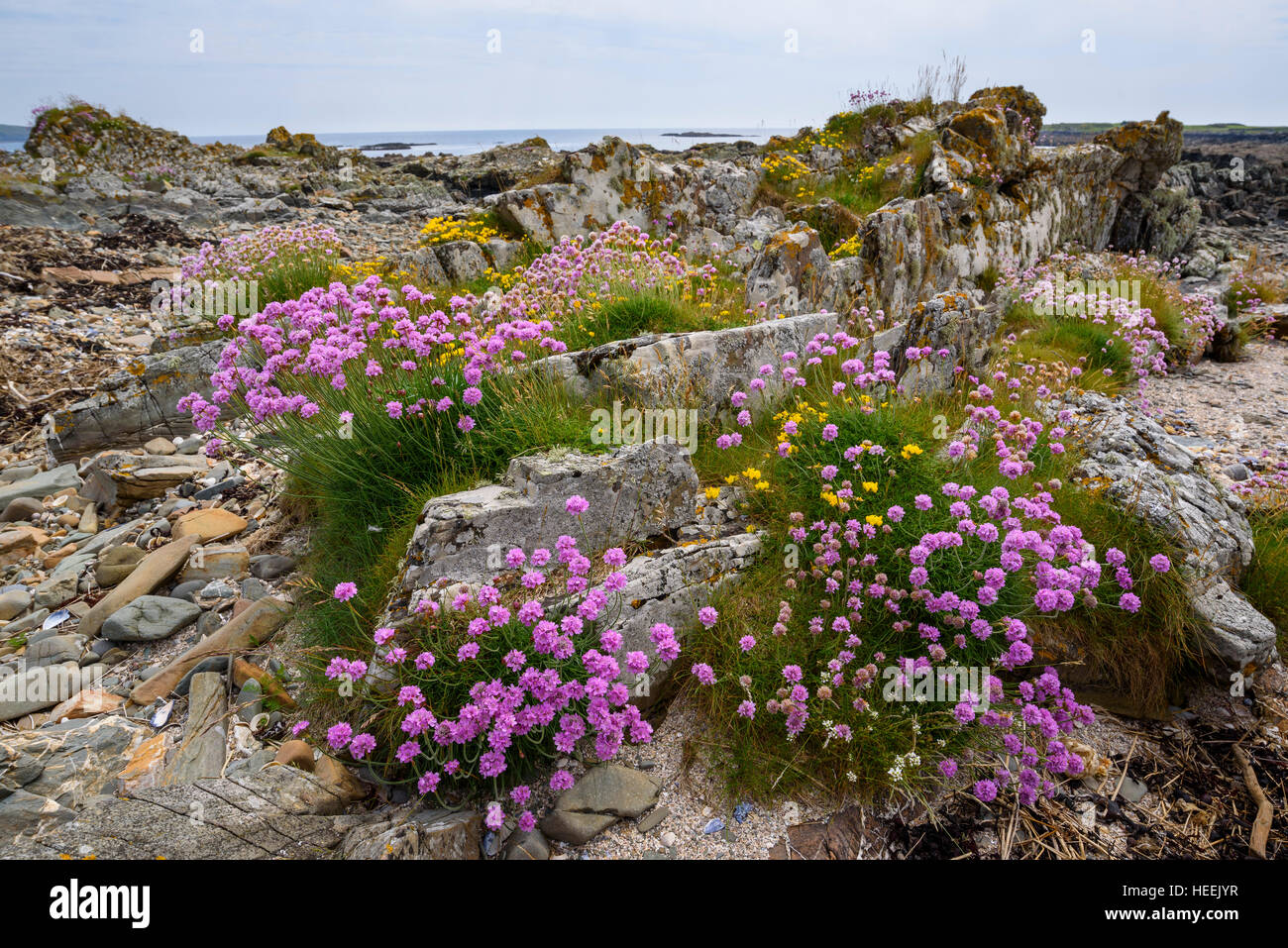 Thrift, Armeria maritima, wildflower, Carrick, Dumfries & Galloway, Scotland - Stock Image