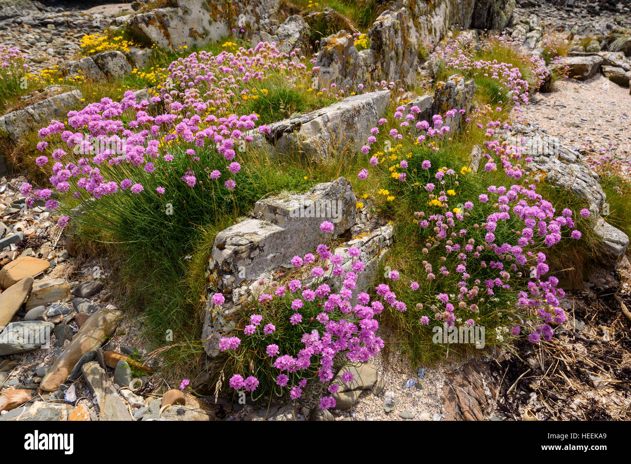 Birdsfoot trefoil and Thrift, wildflowers, Carrick, Dumfries & Galloway, Scotland - Stock Image