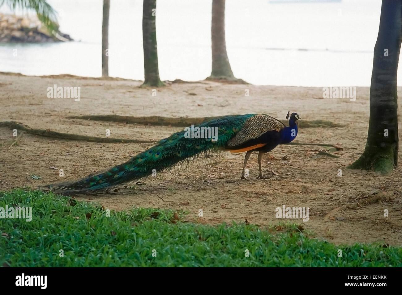 Peacock at Sentosa island, Singapore Stock Photo