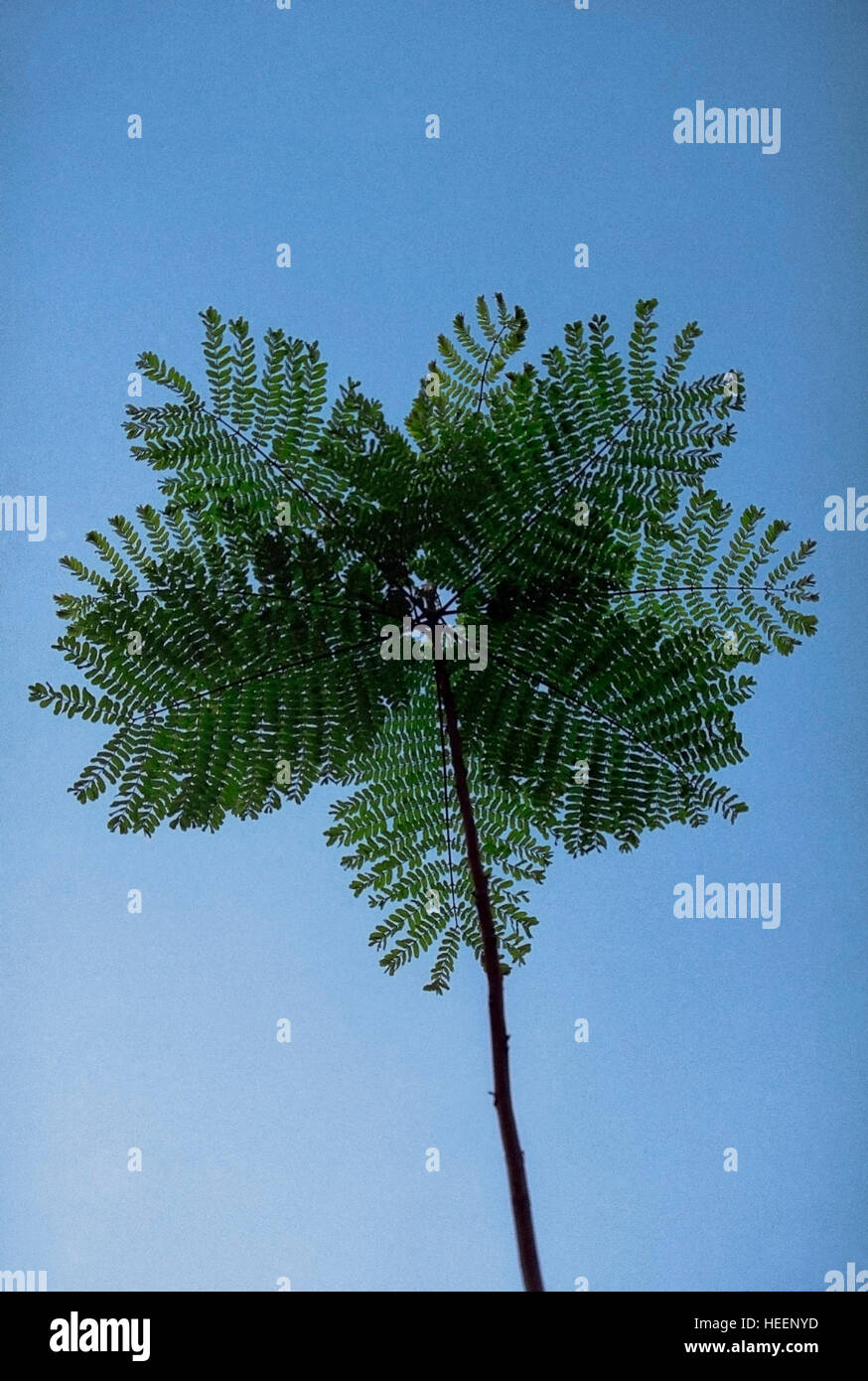 Branch of Gulmohar tree (Royal poinciana/Peacock) - Delonix regia Rafin - Stock Image