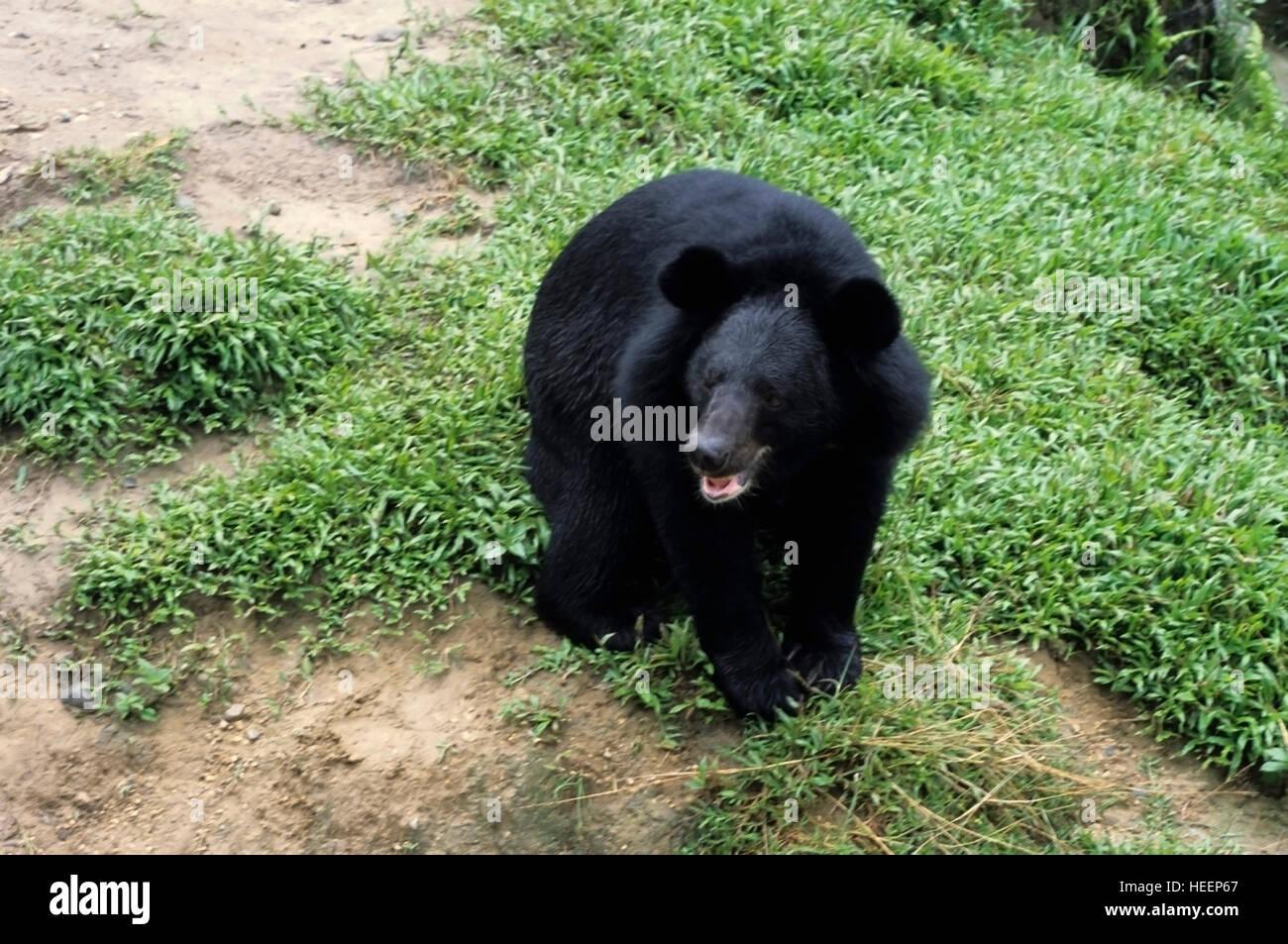 Himalayan Black Bear, Selenarctos thibetanus on Mountain Slopes, Photograph taken in Controlled Environment - Stock Image