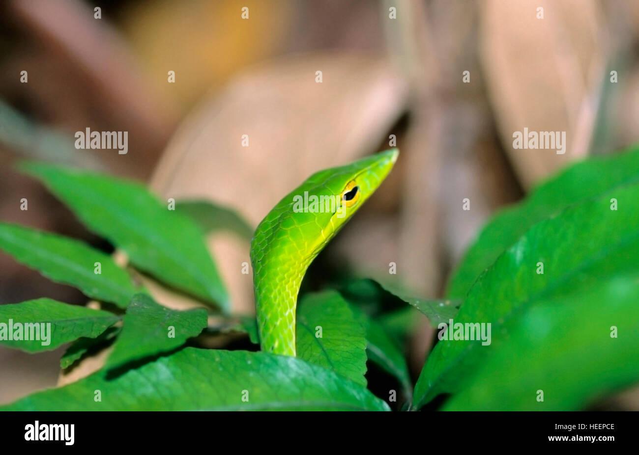 Green Vine Snake, Ahaetulla nasuta Stock Photo
