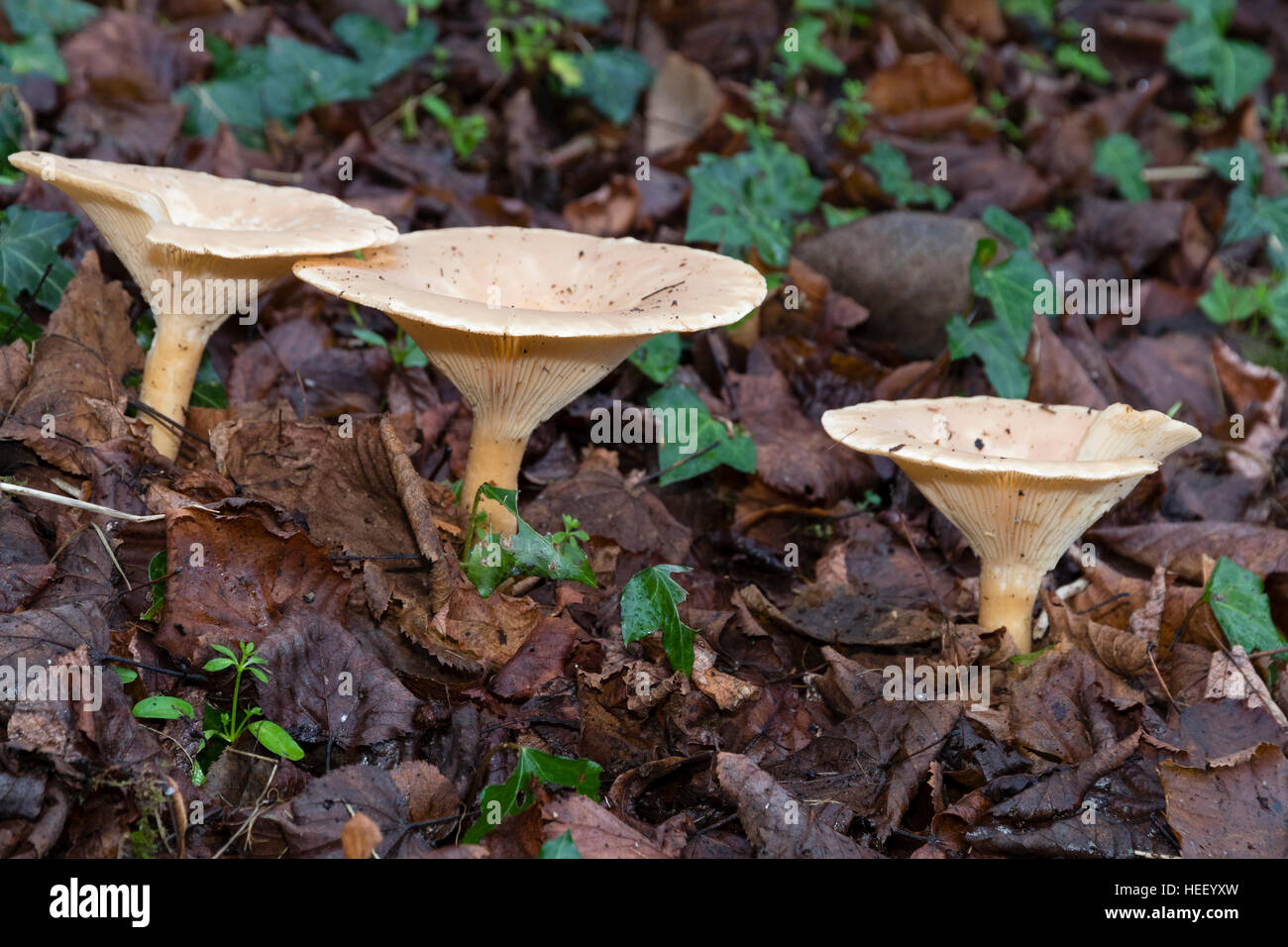 December fruiting bodies of the common funnel mushroom, Clitocybe gibba, emerging through leaf litter - Stock Image