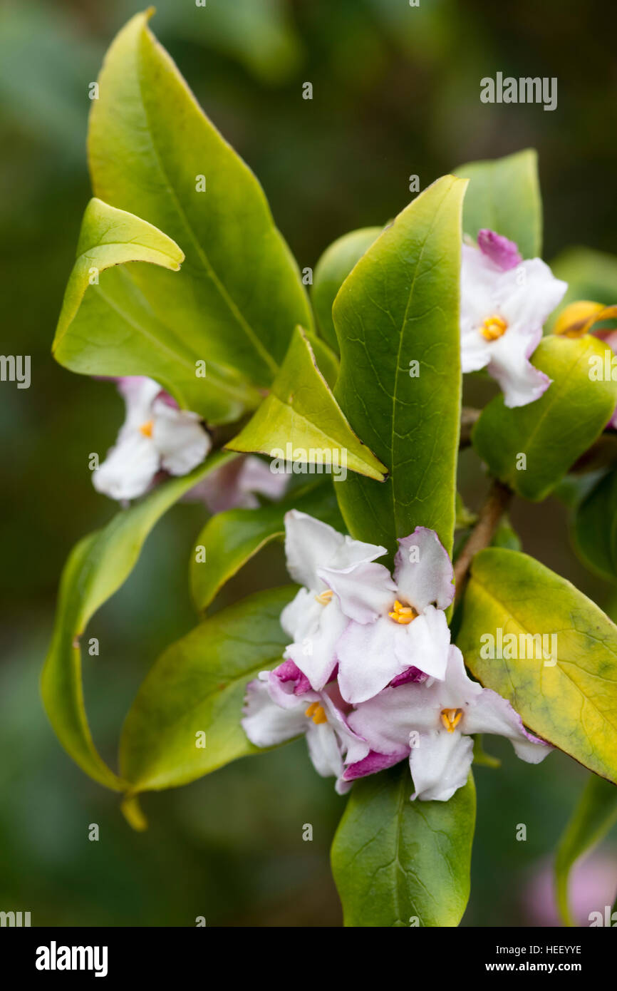 Strongly scented winter flowers of the evergreen Himalayan shrub, Daphne bholua - Stock Image