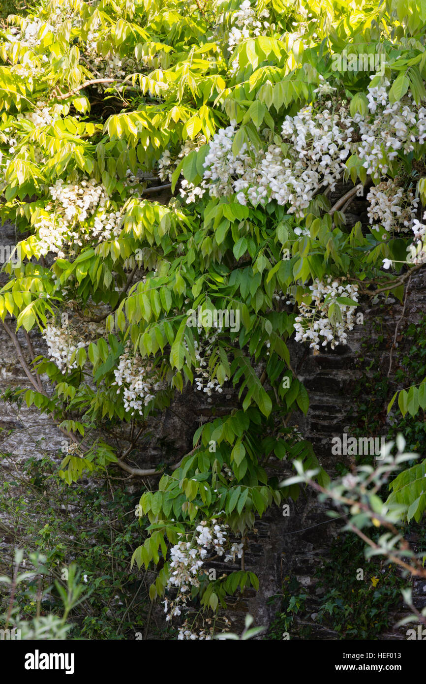 White Late May Produced Hanging Flowers Of The Chinese White Stock