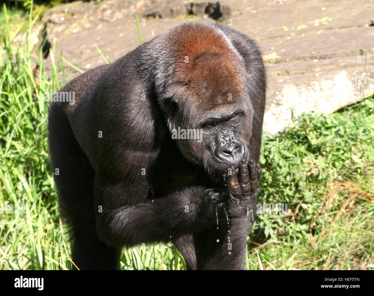 Close-up of a  male Western lowland gorilla drinking water, cupped in his hand - Stock Image