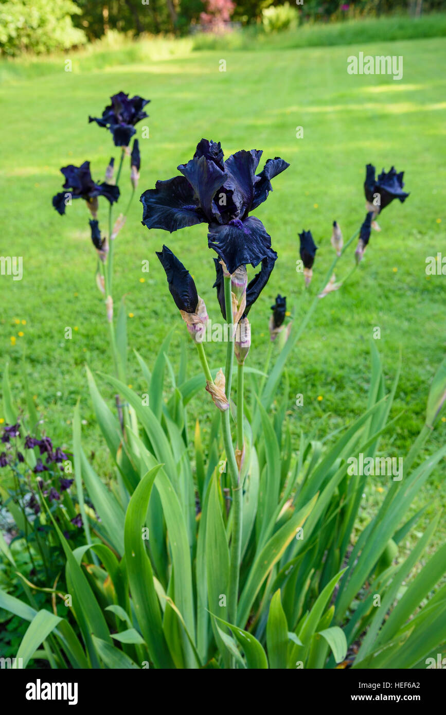 Berfore the Storm, Bearded Iris, garden cultivated flower - Stock Image
