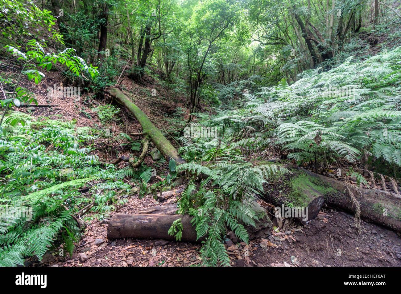 Laurel forest, Los Tilos Biosphere Reserve, La Palma, Canary Islands, Spain - Stock Image