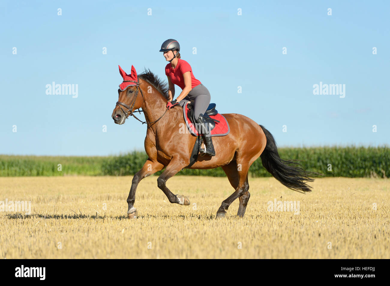 Rider cantering in a stubble field - Stock Image