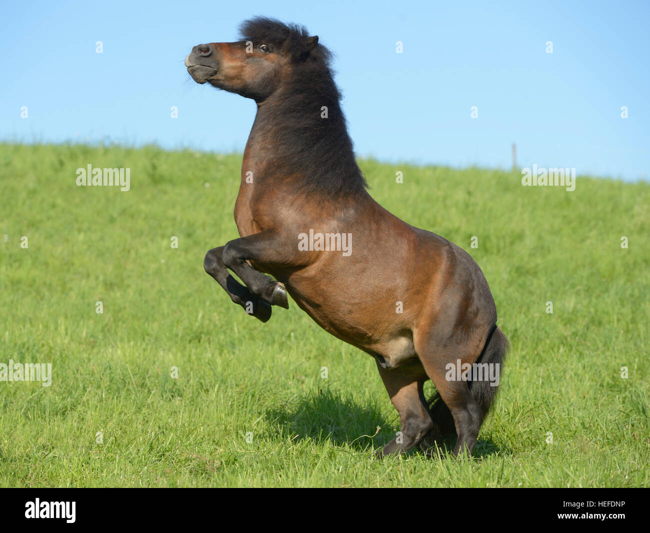 Rearing Shetland pony in the field - Stock Image