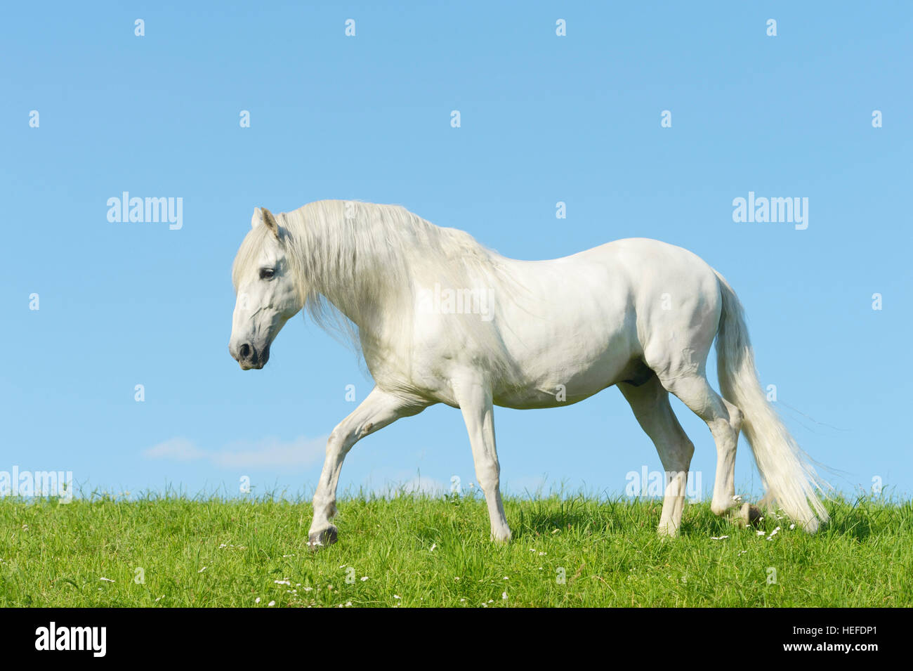 Andalusian horse in the field - Stock Image
