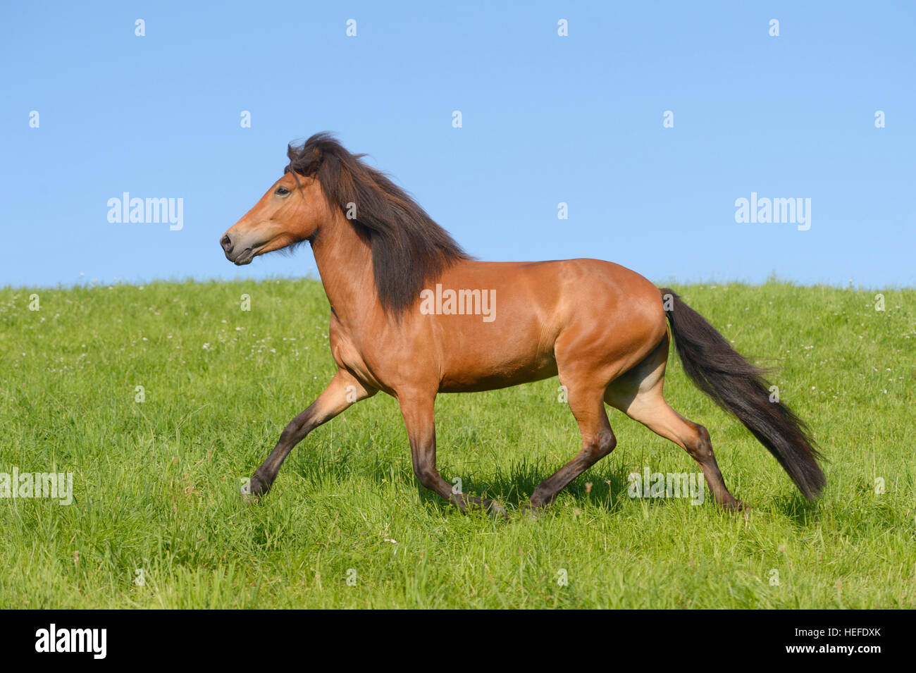 Icelandic horse in the field - Stock Image