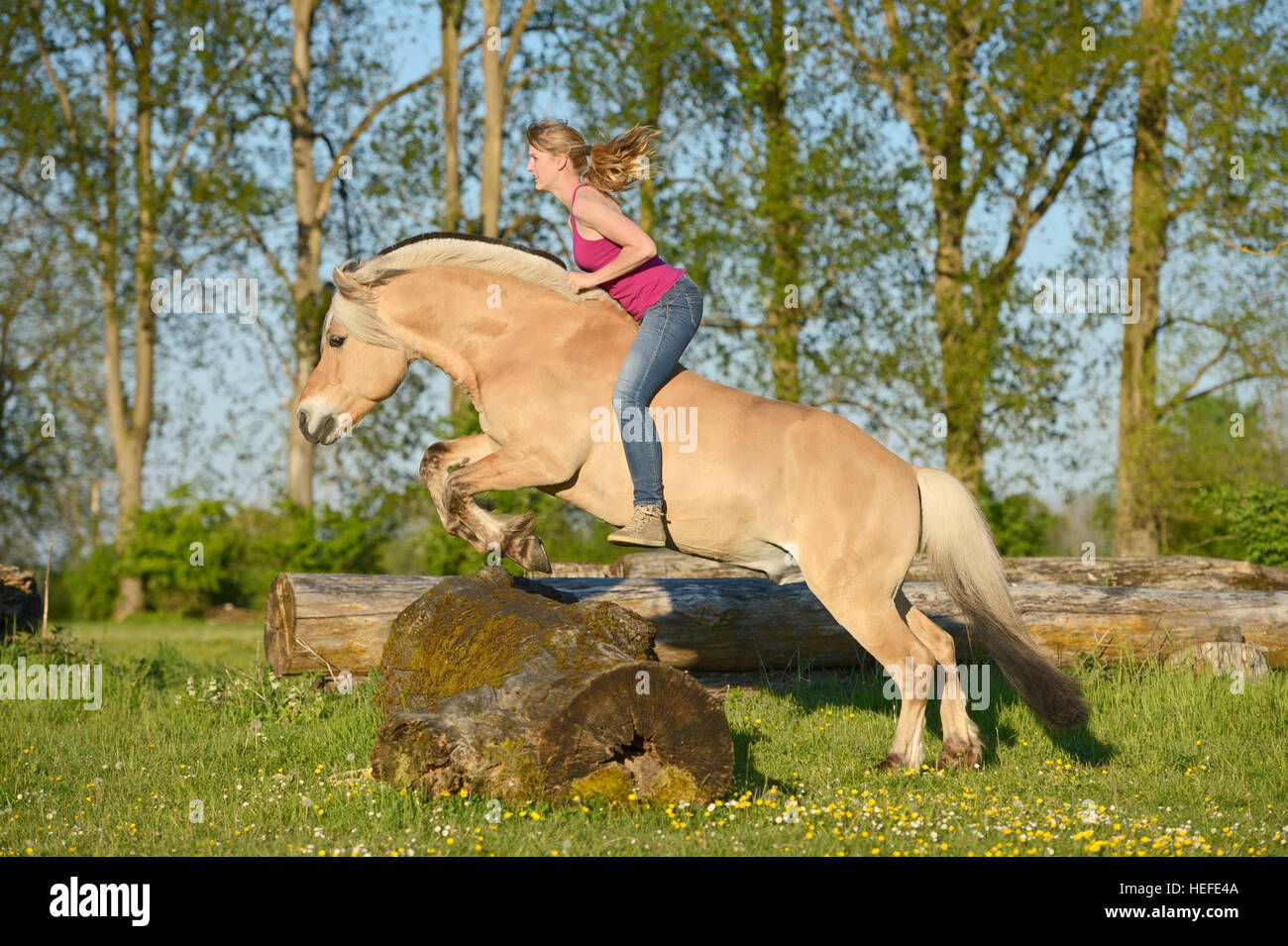 Young woman riding bareback and bridleless on a Norwegian Fjord horse stallion jumping over a tree log - Stock Image