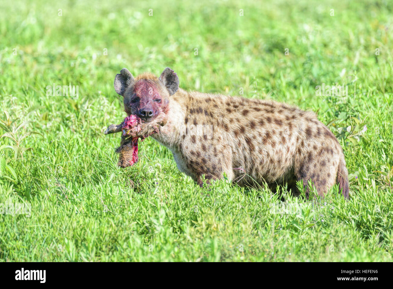 The blood-stained face of a wild spotted hyena (Crocuta crocuta) with the limb of a wildebeest in its mouth. - Stock Image