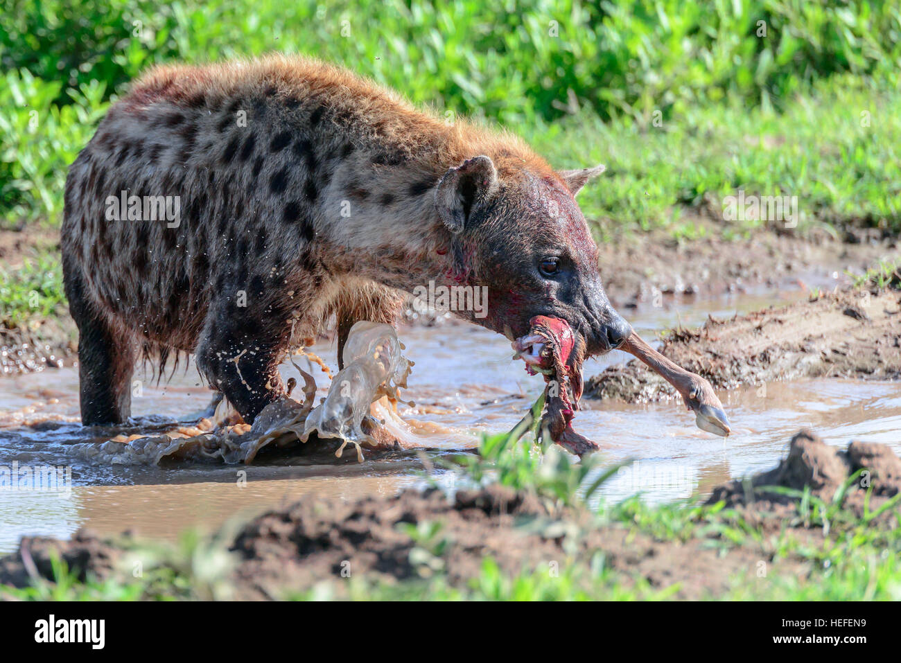 A spotted hyena (or 'laughing hyena) Crocuta crocuta about to hide its captured food - a wildebeest limb - underwater. - Stock Image