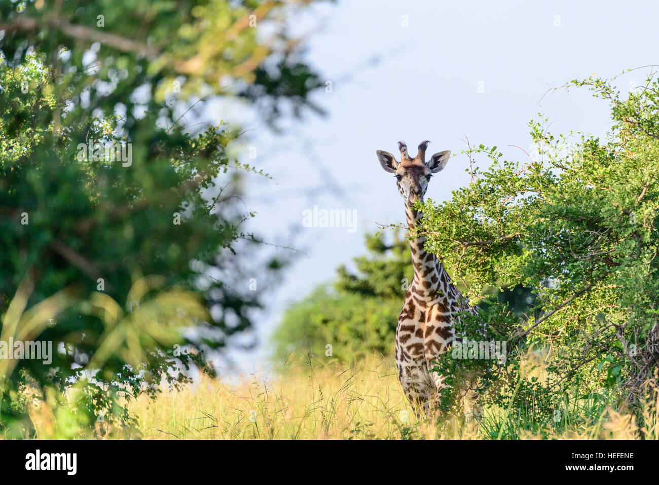 A young female Masai giraffe (Giraffa tippelskirchi) with hairy ossicones munches on savannah savanna vegetation, - Stock Image
