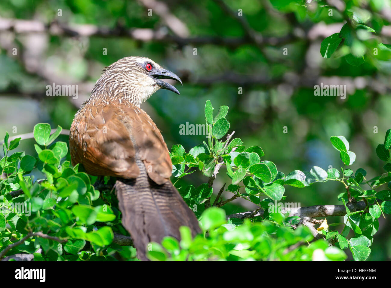 A white-browed coucal (Centropus superciliosus) perched on in a tree. Also known as the lark-heeled cuckoo. - Stock Image