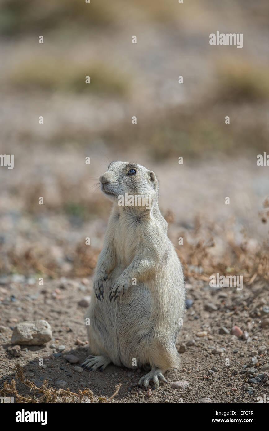 Prairie Dog standing on back legs - Stock Image