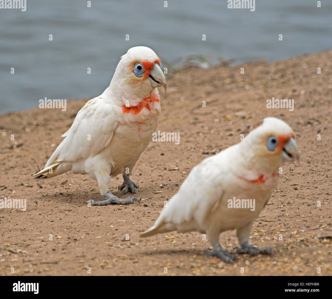 Pair of Australian long-billed corellas, Cacatua tenuirostris white cockatoos with splashes of red on plumage, in - Stock Image