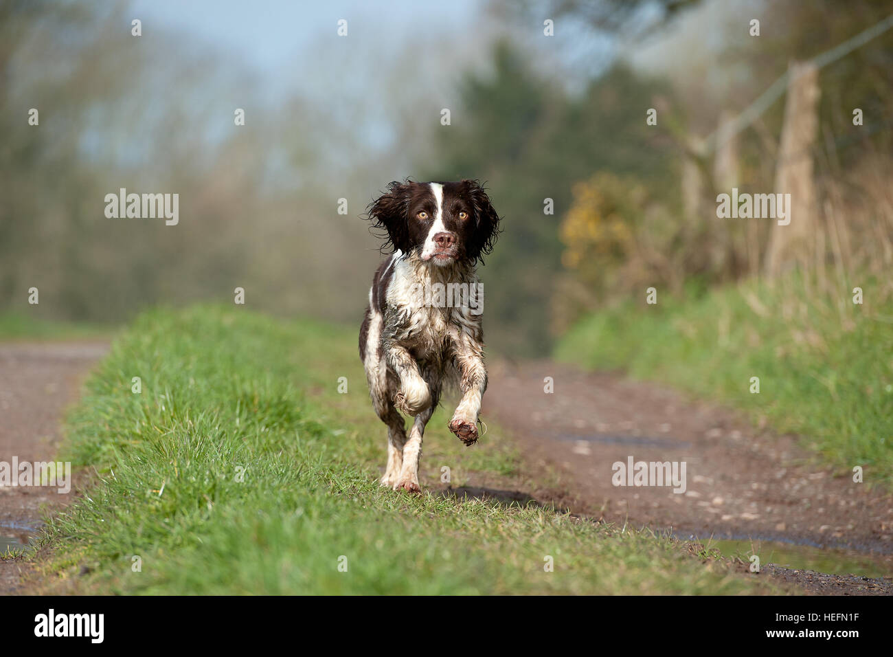 Springer spaniel running toward the camera whilst in the countryside. - Stock Image