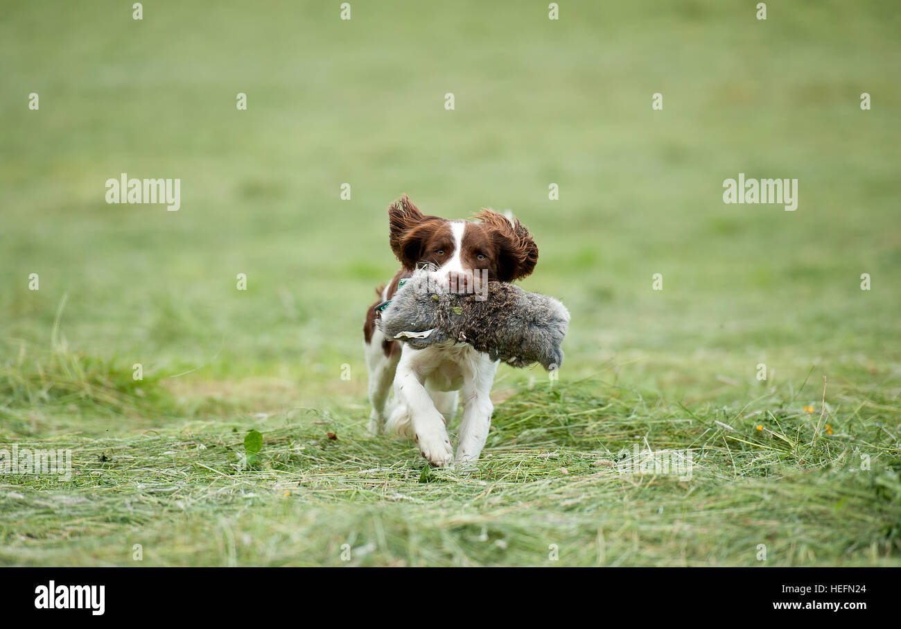 A springer spaniel carrying a dummy in its mouth - Stock Image