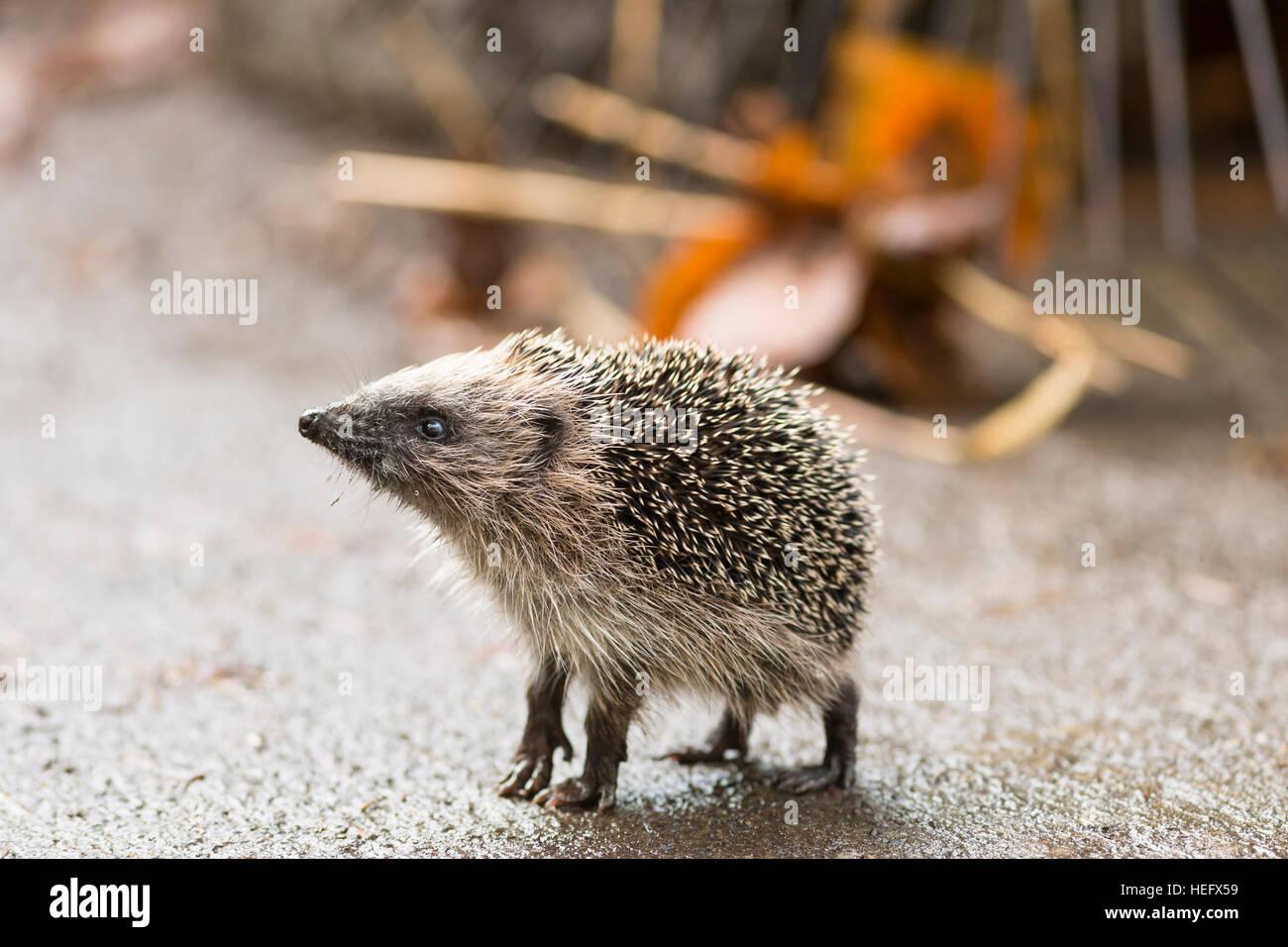 juvenile hedgehog standing on tip toe - Stock Image