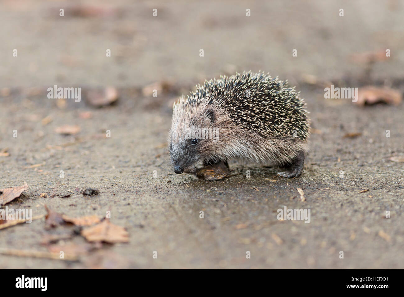 juvenile hedgehog walking - Stock Image