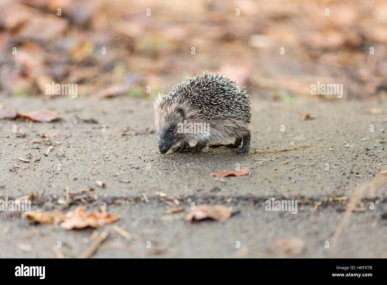 juvenile hedgehog - Stock Image