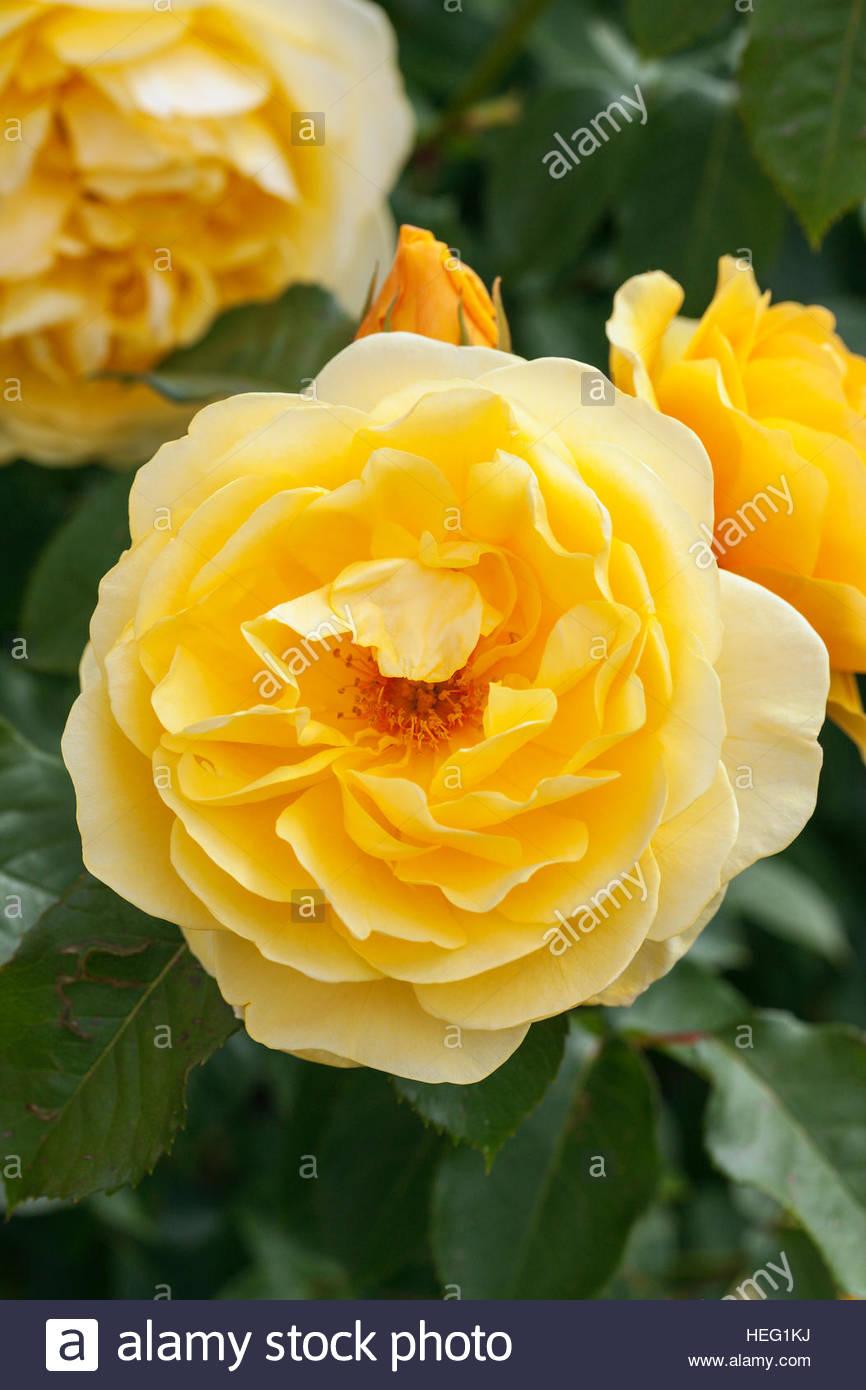 Rosa graham thomas ausmas agm david austin rose stock photo rosa graham thomas ausmas agm david austin rose thecheapjerseys Images