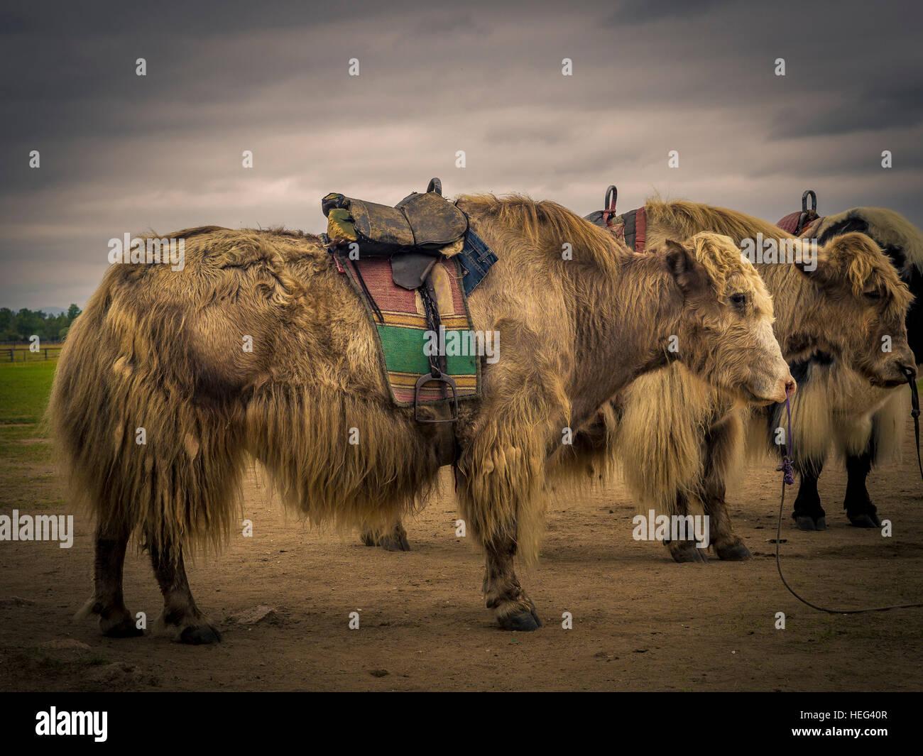 Yaks, Mongolia - Stock Image