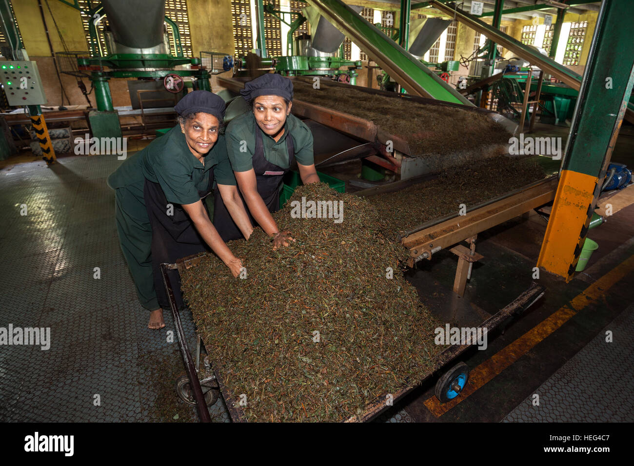 Workers, Tea processing, dried tea on conveyor belts, Glenloch Tea Factory, Thawalanthenna, Central Province, Sri - Stock Image