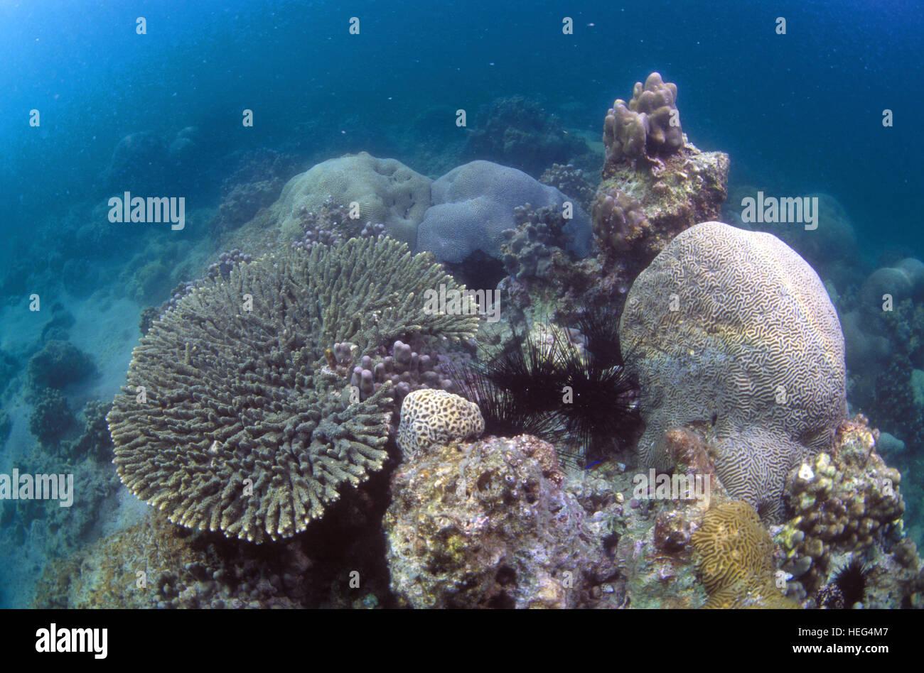 Persian gulf coral reef. Umm Al-Maradem Island. Kuwait - Stock Image