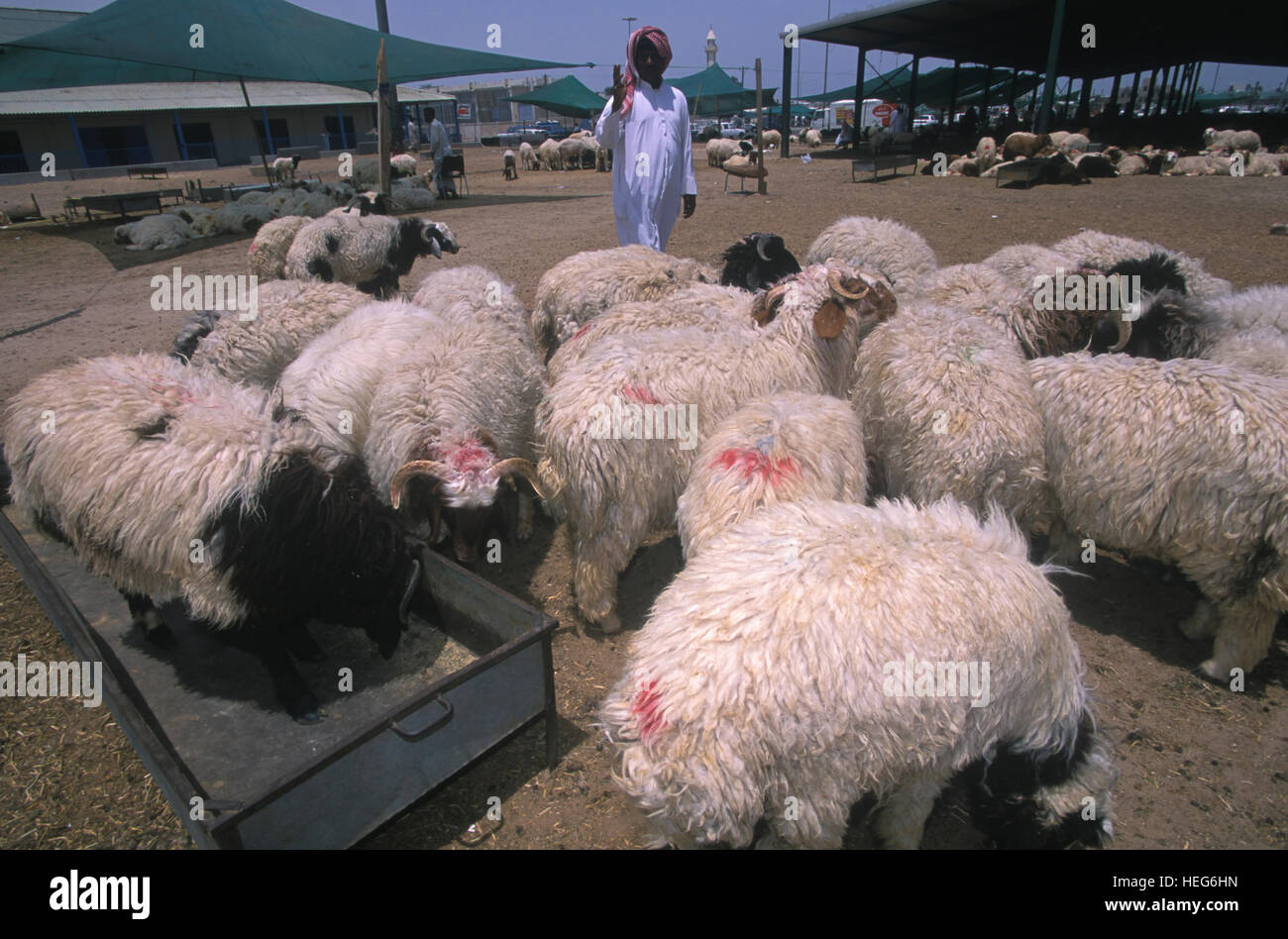 Sheep for sale on animal market at Kuwait City  Seller