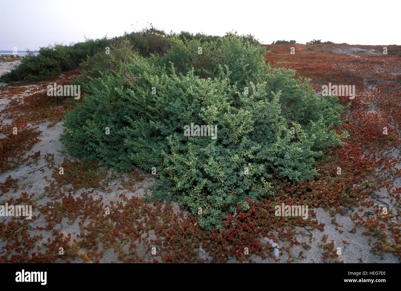 Coastal vegetation at Kubbar Island. Probably Haloxylon salicornicum. Kuwait - Stock Image