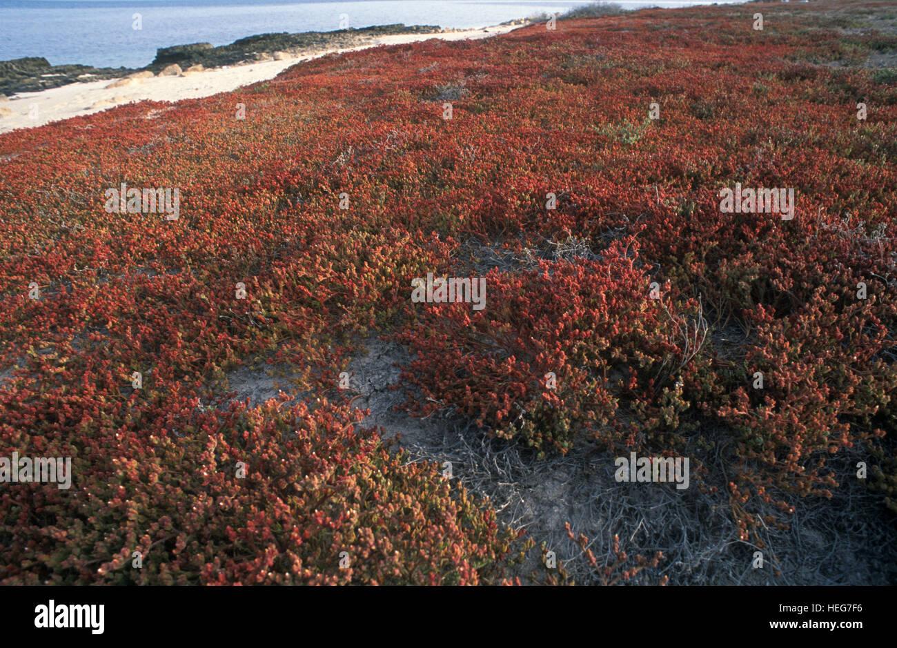 Coastal vegetation at Kubbar Island. Kuwait - Stock Image