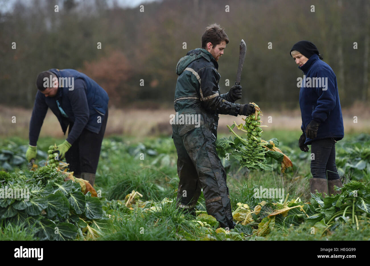 Workers harvest Brussels sprouts at Essington Farm in