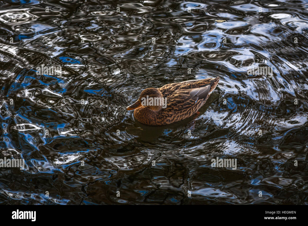 duck ordinary in a wave pattern - Stock Image